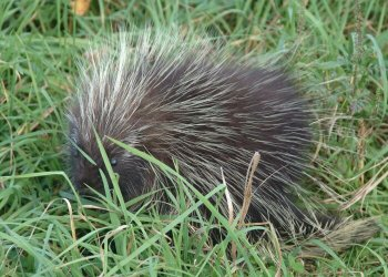 File:Hedgehog small.jpg